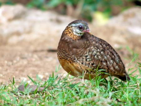 Scaly-breasted Partridge in thailand. Stock Photo
