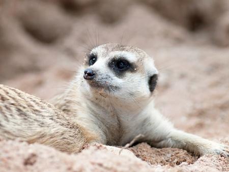 Meerkat in open zoo thailand. photo