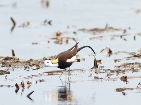 jacana: Bird pheasant-tailed ่jacana in lake thailand.
