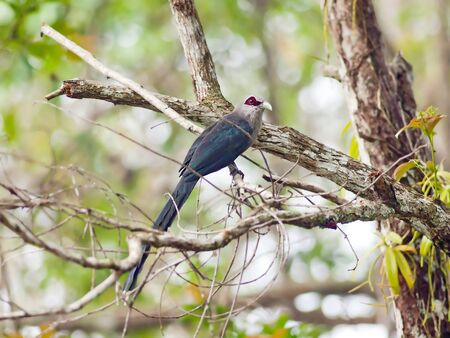 Bird green-billed malkoha in  thailand. photo