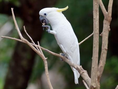 ฺBird white cockatoo in thailand. photo