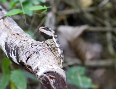 prin: Lagarto en una rama de Tailandia.