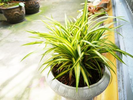 Variegatum green leaf in pots. Stock Photo - 21877822