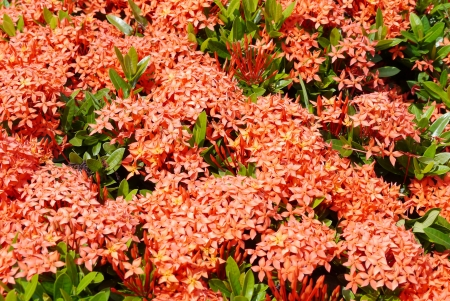 Red ixora in summer thailand. photo