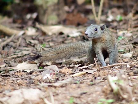 Squirrel in national park thailand