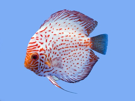 Pompadour (Discus) fish in a fish tank photo