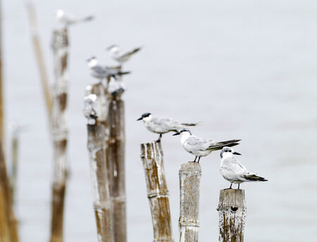 wingtips: Black-headed seagull in thailand.