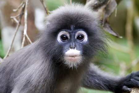 dusky: Dusky leaf monkey in thailand Stock Photo