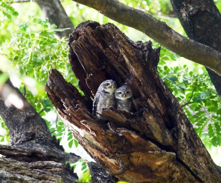 owlet: Bird spotted owlet in thailand. Stock Photo