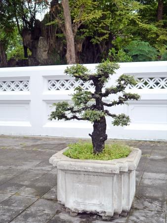 bonsai tree: Bonsai tree in temple thailand.
