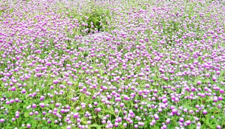 Globe amaranth  flowers in park on summer. photo