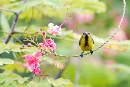 sunbird:  Yellow-bellied sunbird in thailand.