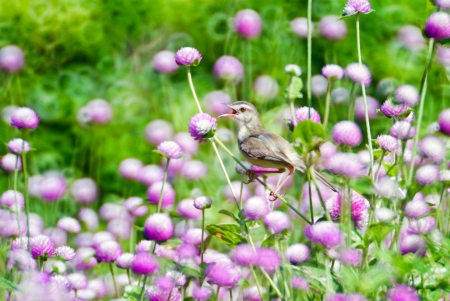 Long-tailed Tailorbird in globe amaranth  flowers with colorful bokeh art . photo