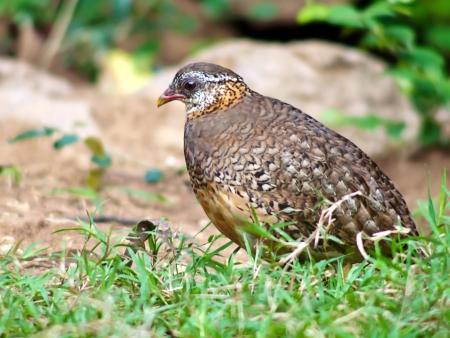 perdrix: Grivotte Partridge en Tha�lande.