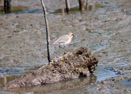 greater: Greater Sand Plover in  thailand.