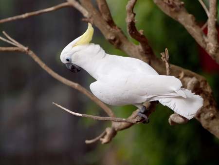 ? Bird cacat�a blanca en Tailandia. photo