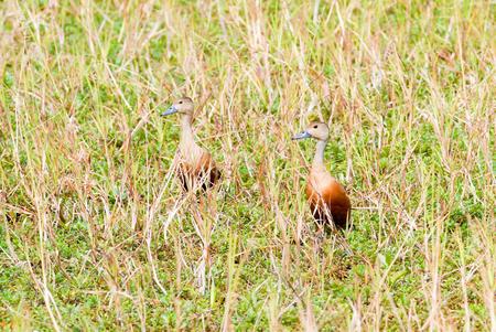 Bird lesser whistling-duck in thailand Stock Photo - 24845302