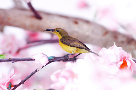 Sun bird on sakura background.
