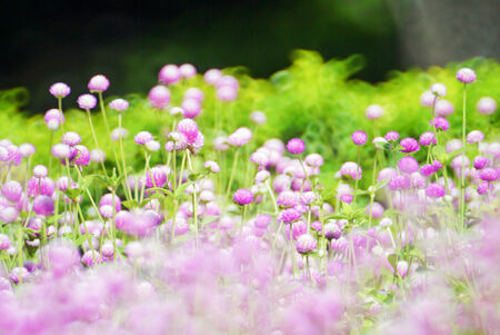 Globe amaranth  flowers with colorful bokeh art . photo