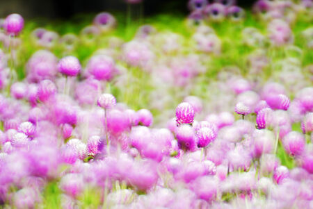 Globe amaranth  flowers with colorful bokeh art . photo