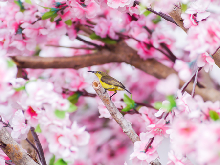 Sun bird on pink sakura background.  photo