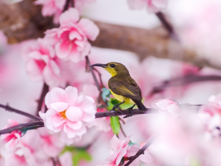 Sun bird on pink sakura background.