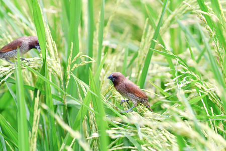 Sparrow in the rice fields. photo