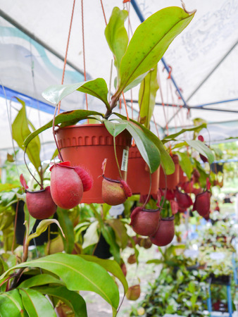 nepenthes: Nepenthes in pot. Stock Photo