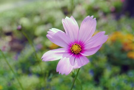 Pink Cosmos flowers in garden.