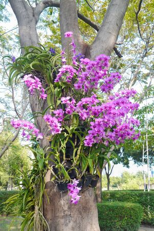 Pink orchid on tree in garden Thailand. Stock Photo