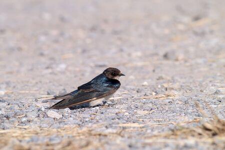 swallow: Swallow bird on ground. Stock Photo