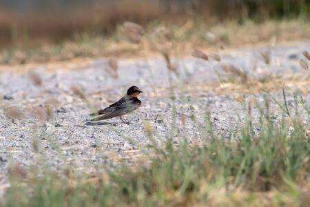swallow bird: Swallow bird on ground. Stock Photo