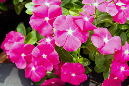 Petunia background colorful flowers.