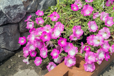 retain: Petunia background colorful flowers.