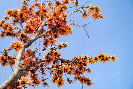 erythrina: Bastard Teak Flower bloom on summer Thailand.