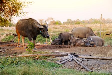 big5: Thai buffalo on yellow light.