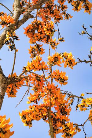 bastard: Bastard Teak Flower bloom on summer Thailand.