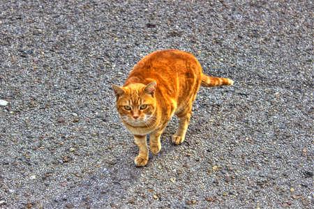 gato naranja: Gato anaranjado en la calle