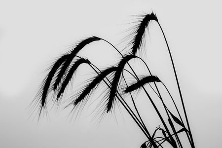 spikelets of wheat photo