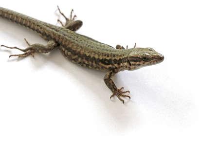 small reptiles: Lucertola