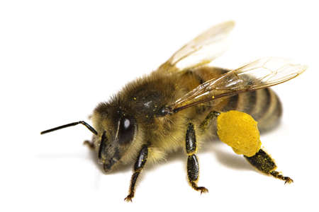 Close-up of a bee over a white background Stock Photo