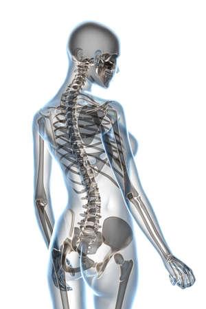 scheletro umano: X-ray anatomia femminile su uno sfondo bianco