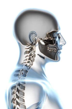vertebra: X-ray head anatomy over a white background