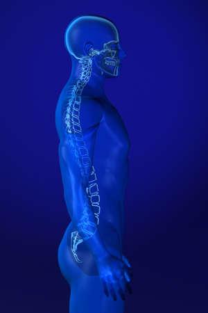 vertebral column: X-ray male anatomy over a blue background