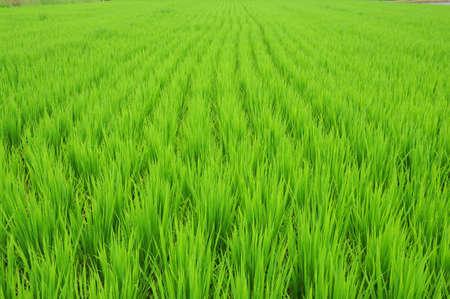 green rice field in summer