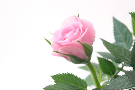 pink rose flower with leaves isolated on white background