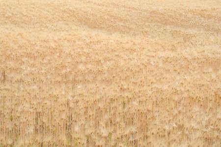 wheat field Imagens - 124722763