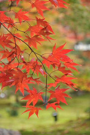 red leaves in Kyoto
