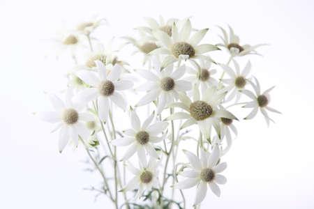 flannel flower Actinotus helianthi isolated on white background