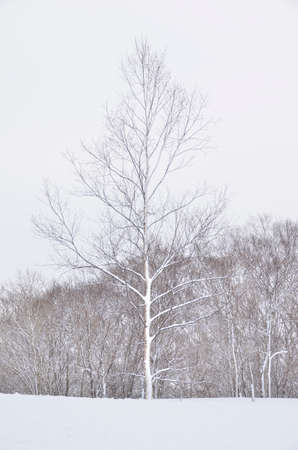lonliness: A tree in snow with trees on the background, taken in Hokkaido, Japan